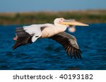 white pelican in flight | Shutterstock . vector #40193182