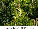 Pine Pollen On Tree