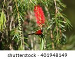Small photo of Mrs Gould's Sunbird (Aethopyga gouldiae) male in south Vietnam