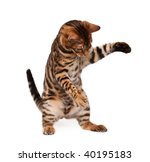 Stock photo bengal cat playing 40195183