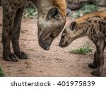 Mother Spotted Hyena With Cub...
