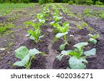 Garden Beds With Seedlings Of...
