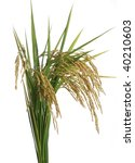 growing rice on white background | Shutterstock . vector #40210603