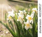 daffodil flowers in the field ...   Shutterstock . vector #402158917