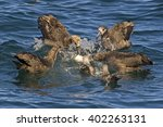 group of black footed albatross ... | Shutterstock . vector #402263131