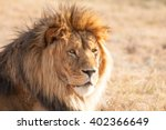 Male Lion Chilling In The...