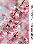 peach blossom in spring | Shutterstock . vector #402383701