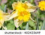 Jonquil  Rush Daffodil  ...