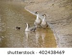 The Three Canadian Geese On Th...