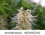 Small photo of Dwarf horse chestnut (Aesculus parviflora) flower on the bush with a background of leaves of the same plant.