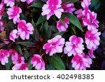 Pink Impatiens Flowers In Bloo...