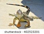 Closeup Portrait Of An  Iguana