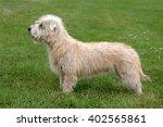 Typical  Irish Glen Terrier In...