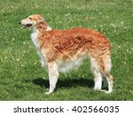 typical  borzoi      russian... | Shutterstock . vector #402566035