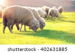 Flock Of Sheep Grazing In A...