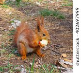 Cute Red Squirrel Eating Apple...