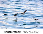 Small Group Of Storm Petrels