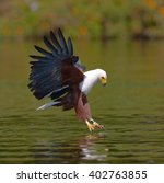 Small photo of African Fish Eagle at the moment the attack on the prey. Kenya. Tanzania. Safari. East Africa.