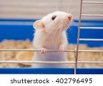 Funny Curious White Rat Lookin...