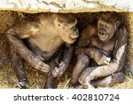 Stock photo two young playful gorillas 402810724