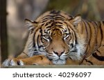 Bengal Tiger Resting And...