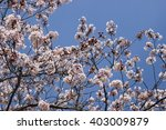 the flower of a cherry blossom | Shutterstock . vector #403009879