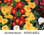 Spring Polyanthus Flowers As...