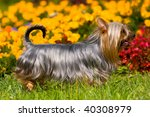 australian silky terrier on...