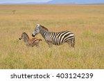 Zebra And Baby  Young Zebra