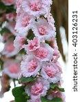 Hollyhock Flowers And Dressed...