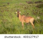lichtenstein's hartebeest in... | Shutterstock . vector #403127917