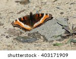 Small photo of Milbert's Tortoiseshell - Aglais milberti