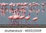 the courtship dance flamingo....   Shutterstock . vector #403315339