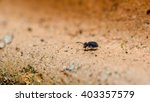 Small photo of Really tiny (~1mm) Sminthurinus niger globular springtail