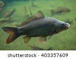 wild common carp  cyprinus... | Shutterstock . vector #403357609