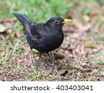 Close Up Of A Male Blackbird