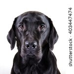 portrait of a black labrador... | Shutterstock . vector #403447474