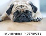 Snout Pug Dog.sleep Rest On...