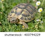 Hermann's Tortoise In Grass In...