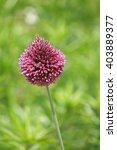 purple ornemental allium... | Shutterstock . vector #403889377