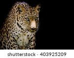 Leopard Portrait Isolate On...