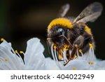 Macro Of A Bumblebee Collectin...