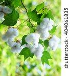 White Seed Cotton Plant