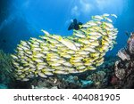 Yellow Snappers In Raja Ampat