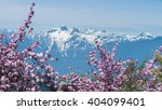 Stock photo cherry blossoms anywhere in the vancouver bc canada 404099401