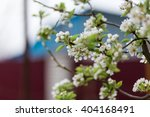 flowers of the cherry blossoms... | Shutterstock . vector #404168491