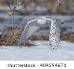 Snowy Owl Flying Low Over The...
