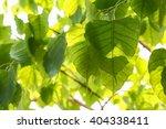 pho leaves on the trees . | Shutterstock . vector #404338411