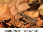 Small photo of Kelaart's Dwarf Toad (Adenomus kelaartii) in Sri Lanka