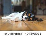 Cute Puppy Of Cavalier Spaniel...
